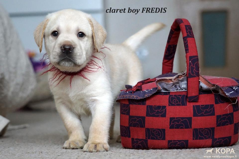 claret boy FREDIS3 copy