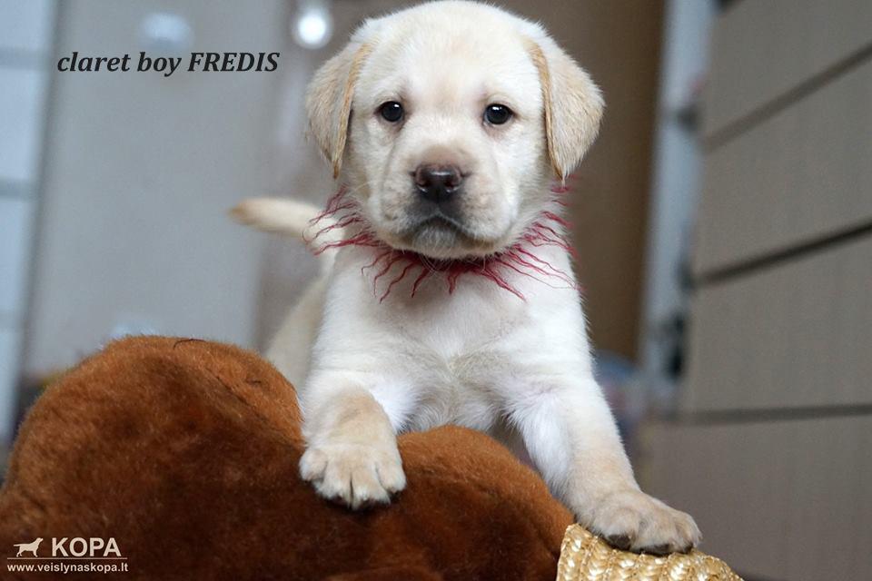 claret boy FREDIS copy